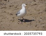 Grim Faced  Yellow Eyed Seagull ...