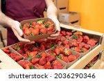 Harvest Strawberries. Packing...