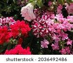 Verbena Flower In The Garden In ...