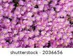 pink mesembryanthemum | Shutterstock . vector #2036656