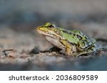 Portrait Of A Young Marsh Frog  ...