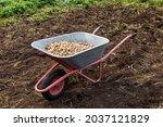 Fresh Potatoes In A Wheelbarrow....