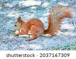 Red Squirrel In The Park Eats A ...