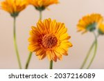 Yellow Orange Gerbera Flowers...