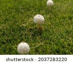 White Puffball Mushrooms On...