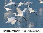 A Flock Of Elegant Great White...