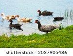 Flock Of Muscovy Duck. Wild...