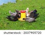 Flock Of Muscovy Ducks Eating...