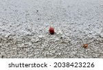 A Cluster Of Ladybugs On The...