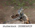 Hydrosaurus Amboinensis ...