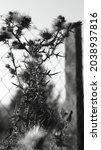Burdock Plant In Bloom Forms A...