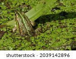 Green Toad In A Dirty Pond