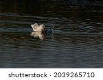 Black Headed Gull ...