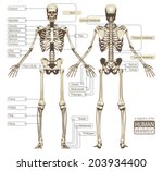 a diagram of the human skeleton.... | Shutterstock .eps vector #203934400