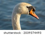Mute Swan  Close Up On The Head ...