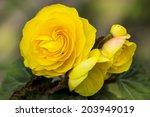 Yellow Flowers Of Nice Begonia...