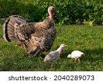 Mother Turkey With Her Turkey...