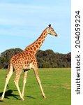 Giraffe Walking On A Grass