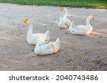 Elegant White Goose Standing On ...