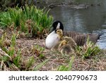 Goose With Goslings By Lake