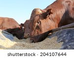 Bonsmara Bulls Eating From Fee...
