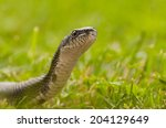 Closeup Of Black Rat Snake ...