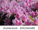Lush Pink Azaleas Growing In...