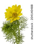 Small photo of Flowers of Adonis, lat. Adonis vernalis, isolated on white background