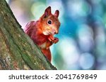 Red Squirrel On A Tree Close Up.