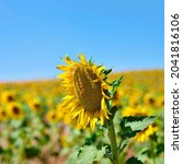 Field Of Sunflowers On A Sunny...