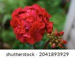 Red Pelargonium Flower Close Up....