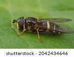 Small photo of Closeup on the yellow girdled syrph, Dasysyrphus tricinctus on a green leaf in the garden