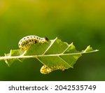 Three Fat Caterpillars Devour...
