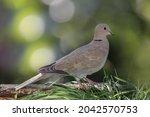Eurasian Collared Dove ...