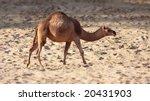 Dromedary  Camelus Dromedarius