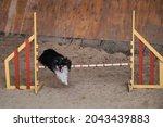 Black Shetland Shepherd Dog...