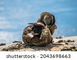 A Female Mallard Duck Preening...