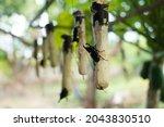 Beetle   Dynastinae   On...