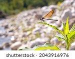 Calopteryx Haemorrhoidalis...