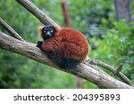 A Red Ruffed Lemur  Varecia...