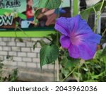 Ipomoea  Or Commonly Called The ...