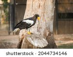Steller's Sea Eagle  Haliaeetus ...