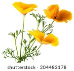 Flower Eschscholzia Californic...