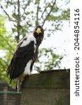 Beautiful Steller's Sea Eagle...