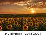 Sunflower Fields In Warm...