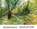 Young Green Pine Cone. Pine...