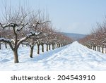 Apple Orchard At Winter