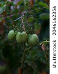 Green Tomatoes On A Branch In...