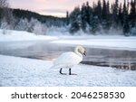 A Lonely White Swan By A Winter ...