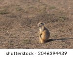 The Prairie Dog stands up on his hind legs and chirps to warn others about danger in the area. This Prairie Dog is in Badlands National Park in South Dakota